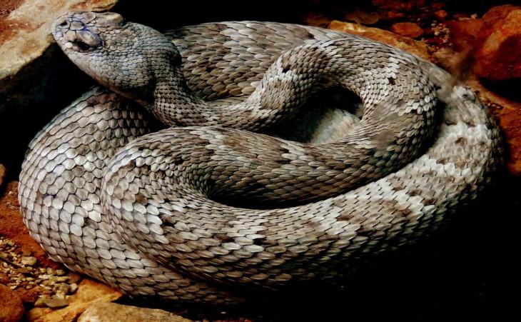 Snake Venom Covid-19 Treatment